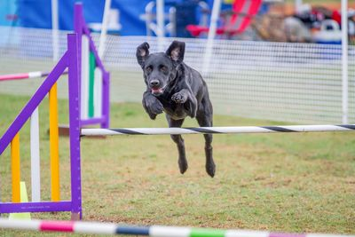 Dog jumping in an agility competition.