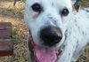 Reese/Dalmation and Lab mix/Male/ 13 years old/ Special needs