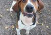 Carl/Coonhound/2 yrs/Male/ok with other big dogs/goofball