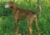 Griffin/Redbone Hound mix/Male/7 years old/ energetic and fun loving
