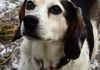 Bogie/Beagle/Male/11yrs/Loves the outdoors/fenced yard required