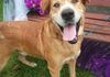 Caleb/SharPei and Retriever mix/Male/7 Years old/Active and fun/Likes to talk