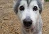 Samara/Husky and Sheltie mix/female/13 years old/Special needs