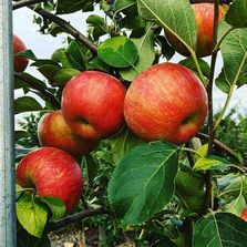 Organic, Apples, fresh, you-pick-fruit