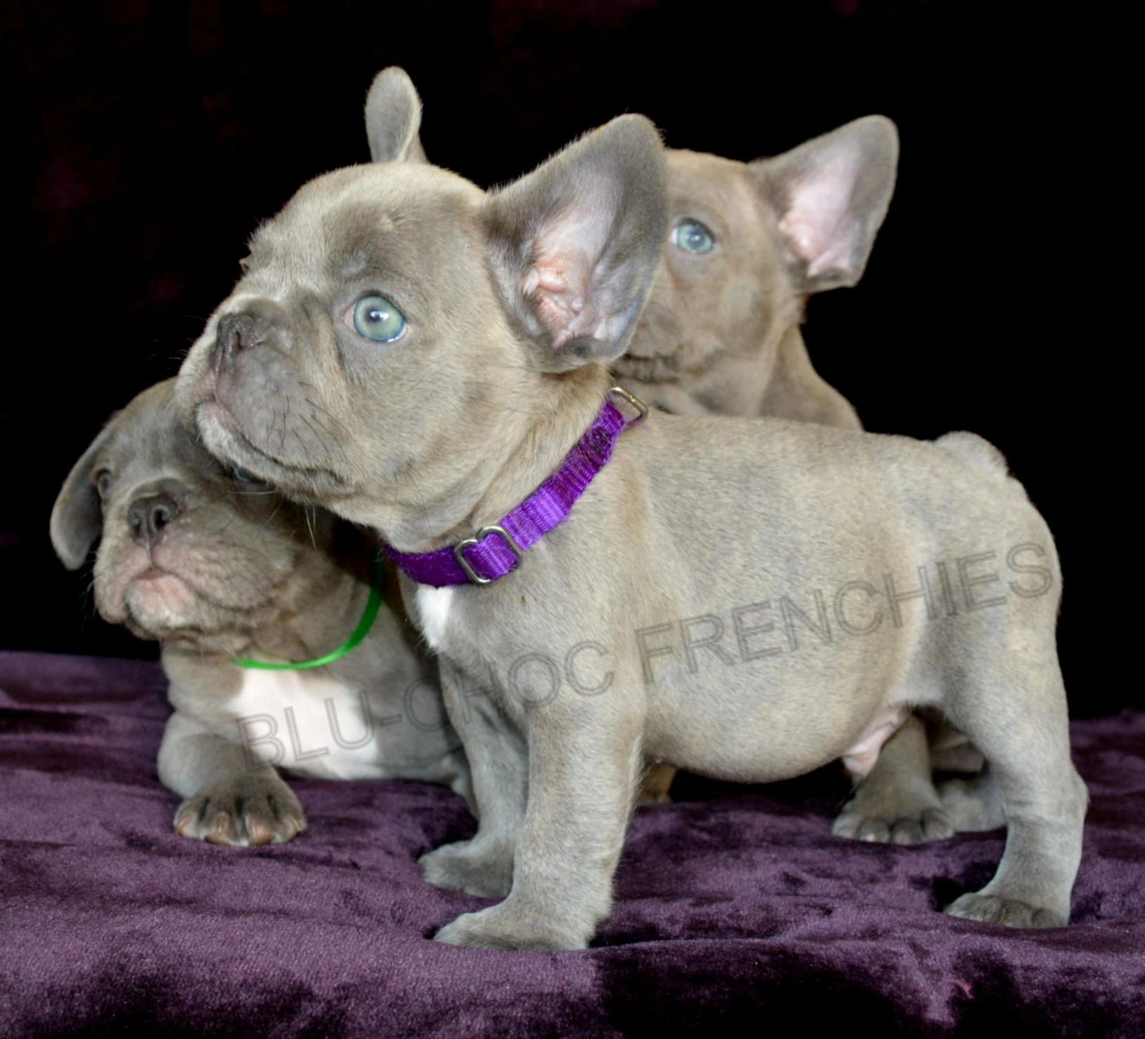 lilac frenchies - french bulldogs for sale, french bulldog