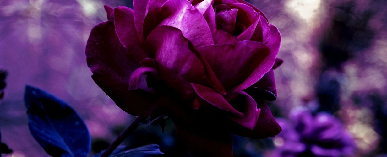 velvet, blue, magenta, rose, blue leaves,