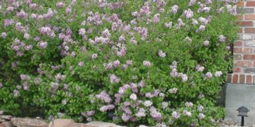 Miss Kim Lilac is a dwarf lilac that grows to about 4' to 5' in height and 6' wide. The flowers are