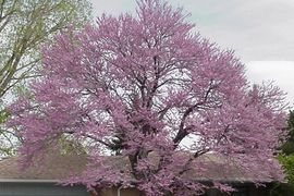 Jones Tree & Lawn has these trees available and can plant them for you. Ridel Redbud