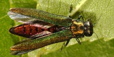 emerald ash bore, pest, control. shrubs, trees, predatory, insect, bug, insect, damaging,