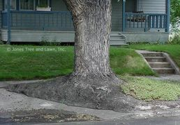 "This Maple was found growing near DU in the ""devils strip"" between the sidewalk and the curb. The ro"