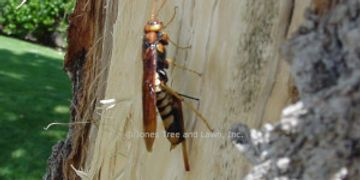 "Pigeon tremex is a wood borer. The adult resembles the biggest wasp you have ever seen! Over 2"" in l"