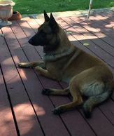 Jesse James Registered Malinois.  Sire of our upcoming litter.