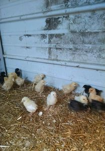 True Heritage Breed Blue Slate Turkey poults are hatched between February and April each year.