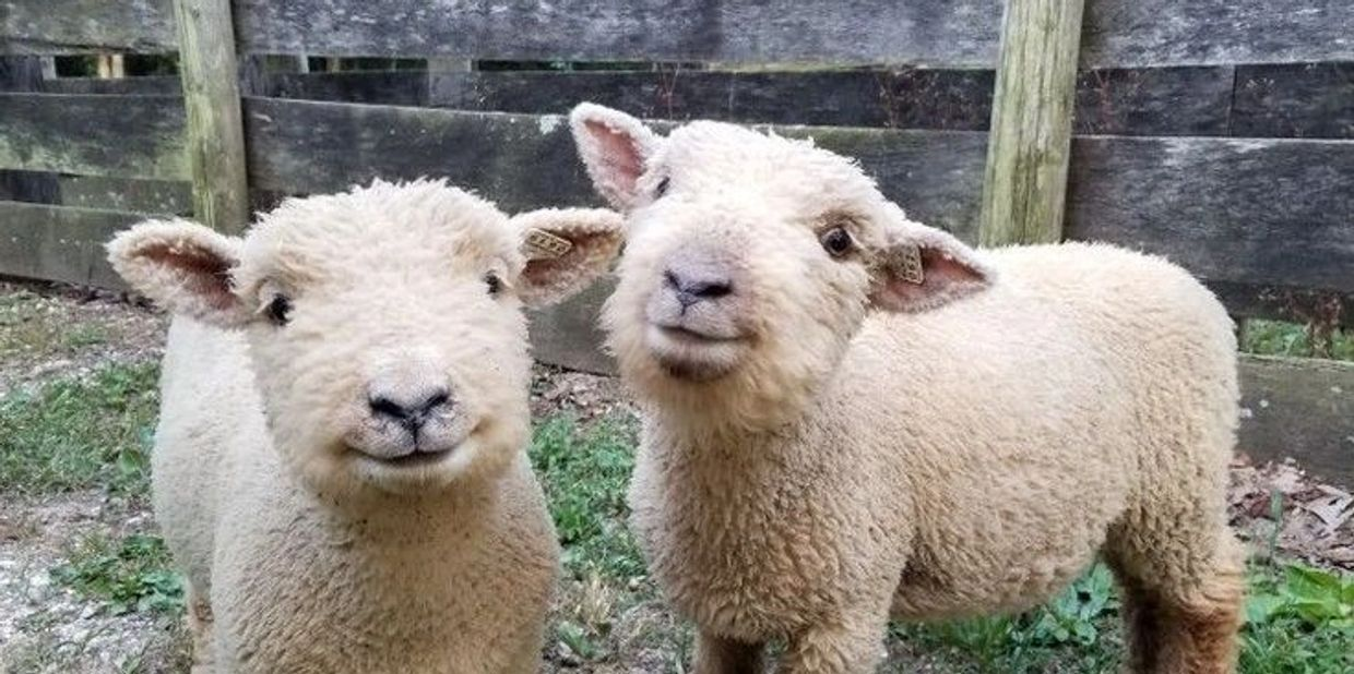 Babydoll Sheep