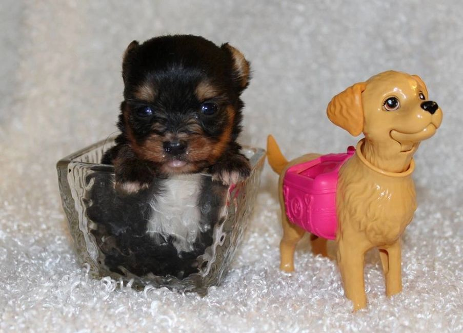 Tiny, Tiny Toy, Micro, Micro puppies, Teacup, Teacup puppies, Puppies for sale, puppy, small, Yorkie