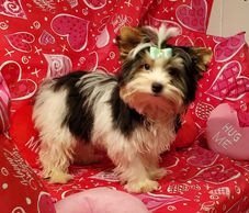Buddy parti-yorkie This little boy went to a sweet lady in Delaware.
