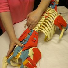 Deep spinal muscle of the low back.