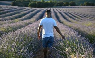 A man walking through a field of lavender with his right hand extended to touch the lavender buds.