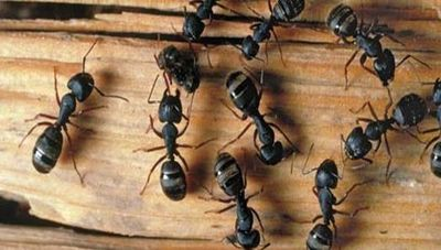 Carpenter Ant Exterminations Guaranteed for 1 year no Contracts.