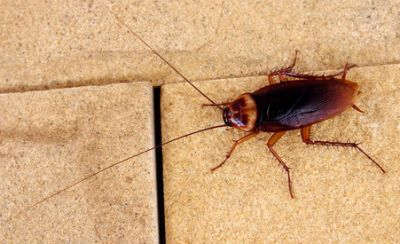 Roach Extermination offered with a bait or a spray.  Grand Rapids and surrounding areas.