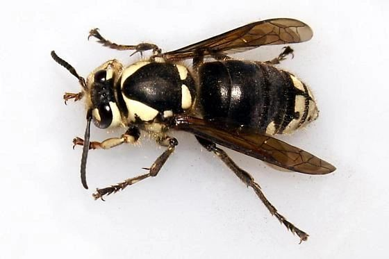 Bald faced hornet.  one of the many pests we treat.