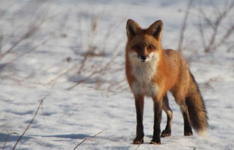 Red Fox - Port Williams, Nova Scotia