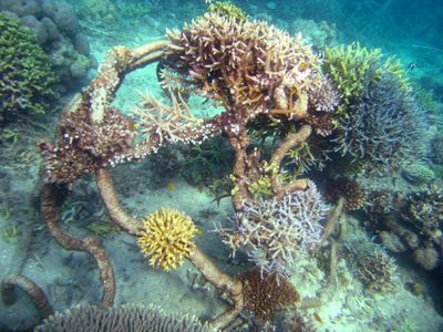 Coral Reef Restoration Project - New Coral Growth -  Living Sea Sculpture