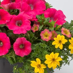 Flowering Combo Hanging Basket