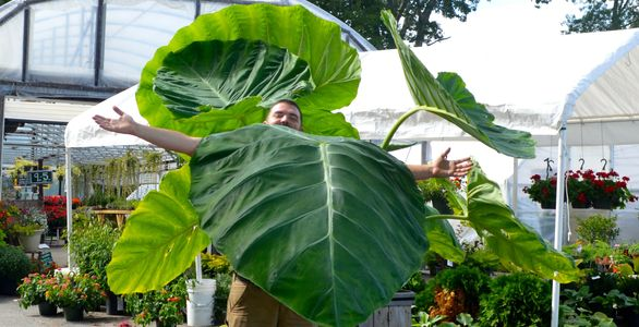 Giant Elephant Ear Plant only 4 mo. old planted in huge container to reach this size.