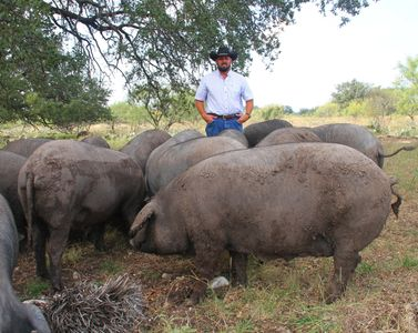 Rancher Ashly Martin with Texas Iberico hogs