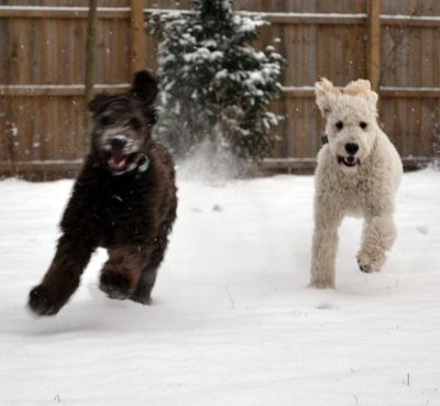 Tessa and Lacey racing across our snowy backyard.