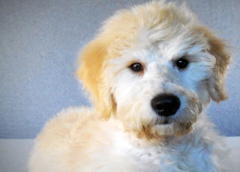 Puppies For Sale In Wisconsin American Labradoodle And