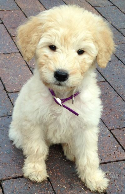 Lacey, my adorable Goldendoodle as a puppy.