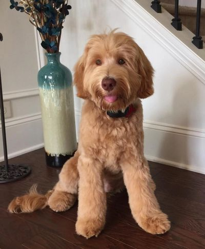 Tessa's mate Marlow is a handsome adult multi-gen Labradoodle.