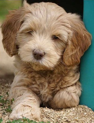Tessa's mate Marlow as a puppy.