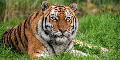 sunny dees holiday apartments blackpool zoo tiger