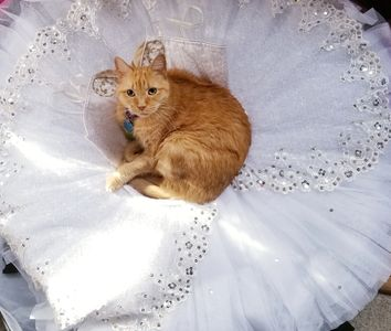 Pumpkin the Cat for June's Dancewear