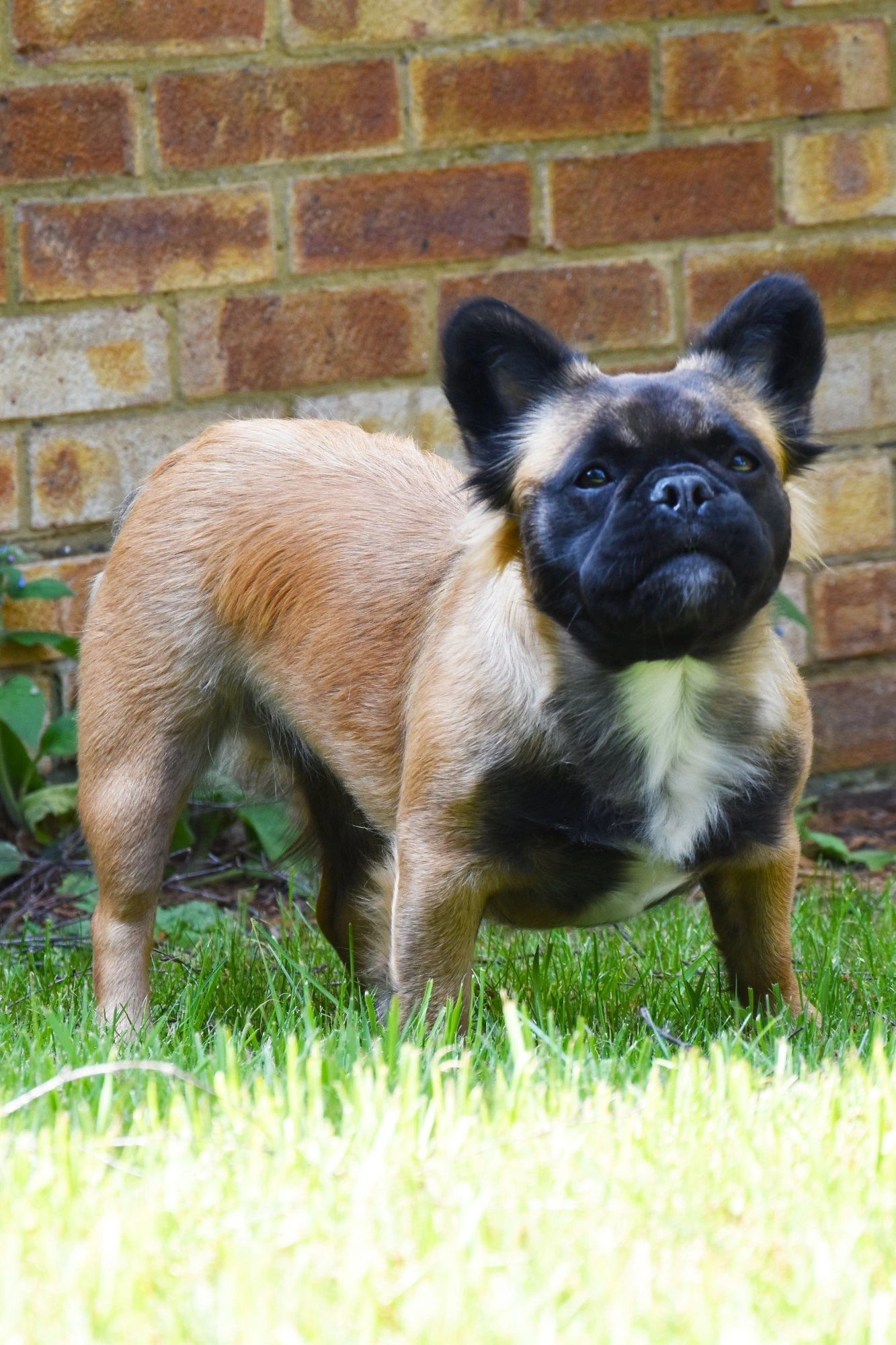 fluffy frenchies uk - long haired french bulldogs | fluffy