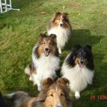WE ARE DEDICATED TO THE SHELTIE AND OUR BREEDINGS ARE CAREFULLY PLANNED. WE PRODUCE PUPS THAT CAN PE