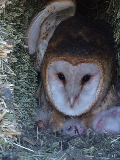 Owl family that nested in Heidi's barn.  She communicated with the parents and owlets.