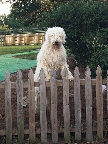 Sensory Dogs Komondors Komondors Breeder Puppies