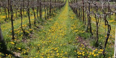 Grass, dandelions and other plants in a row of grapevines.