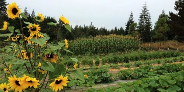 Sunflowers in the garden with rows of plants
