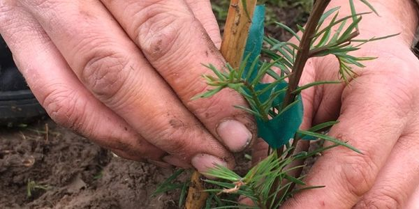 hands planting a small redwood tree with a support stake