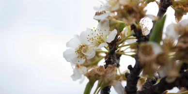 white blossoms on branches