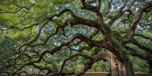 Ancient Oak in the Fae Realm