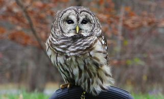Bobbles is a Barred owl