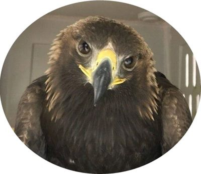 Golden eagle that was rehabilitated at CWC, recovered from West Nile Virus and was released