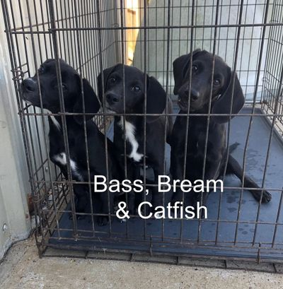 Beagle/lab mix puppies Bass, Bream & Catfish looking for homes.