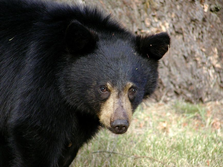 head shot up to shoulders of ablack bear looking at camera.